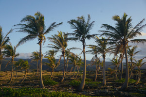 Coconut palm grove_small