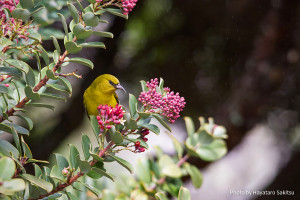 A Hawai'i 'Amakihi forages for nectar in the blossoms of the Haleakalā Sandalwood, Santalum haleakalae.  Photo credit:  Hayataro Sakitsu