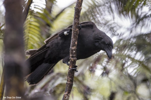 'Alalā released in 2017 to the Pu'u Maka'ala Natural Area Reserve. Photo courtesy San Diego Zoo Global