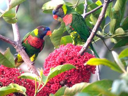 Kokoda Birds
