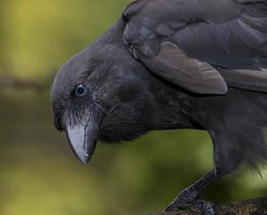Photo of 'Alalā (Hawaiian Crow) by San Diego Zoo Global