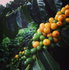 Beautiful yellow coffee catura berries grown on the Rusty's Hawaii coffee farm in Ka`u