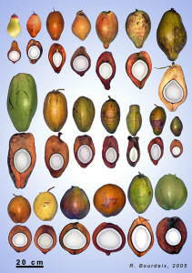 There are more than 80 varieties but just one species of coconut, Cocos nucifera.  Image: R. Bourdeix