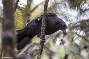 'Alalā released in 2017 to the Pu'u Maka'ala Natural Area Reserve. Photo courtesy San Diego Zoo Global