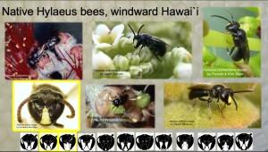 History Beekeeping Hylaeus image